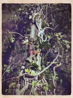 ivy view tree photography nature