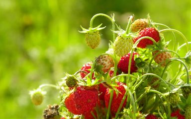 nature strawberry summer photography